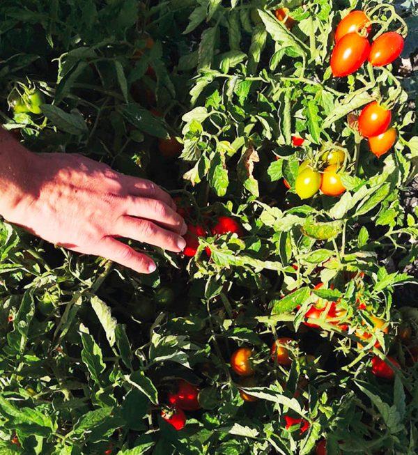 pomodorino-buttiglieddru-raccolta